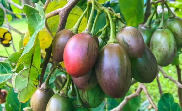 Tamarillos (Tree Tomatoes)
