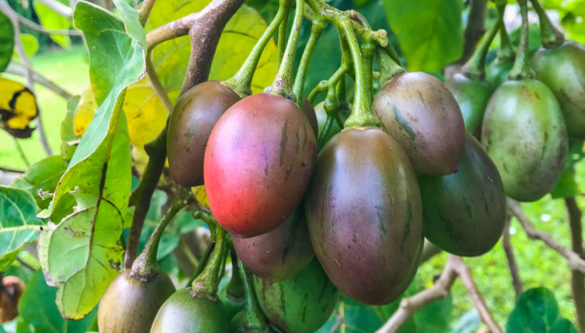 Tamarillos (Tree Tomatoes)
