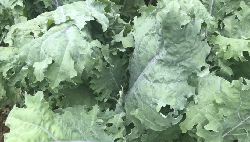 Sustainable Living – Growing Kale